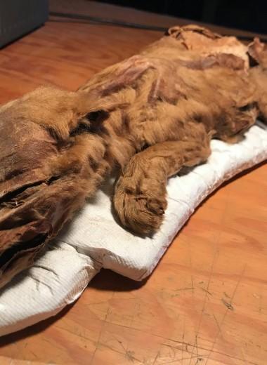 Дети ледникового периода: в Канаде обнаружили мумии волчонка и оленёнка