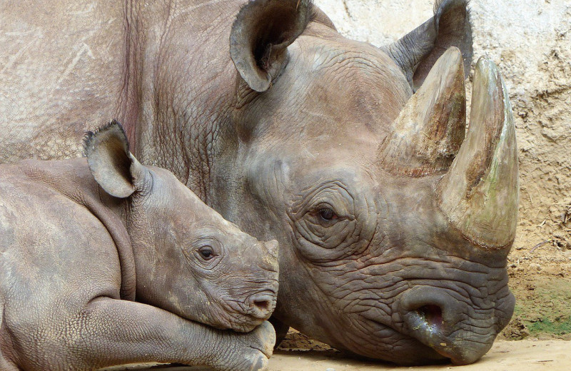 Костры из тысяч рогов носорогов: как Индия борется с браконьерами
