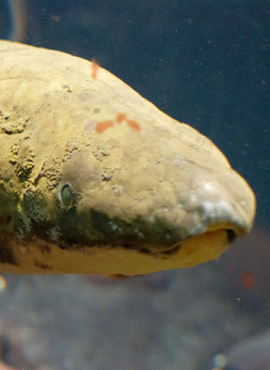 Геном австралийского рогозуба рассказал о ранних этапах эволюции четвероногих