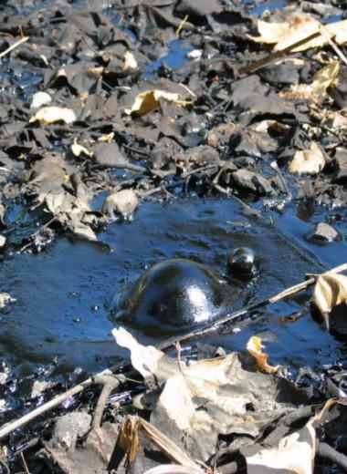 Нефтяные мухи – насекомые, личинки которых живут в сырой нефти