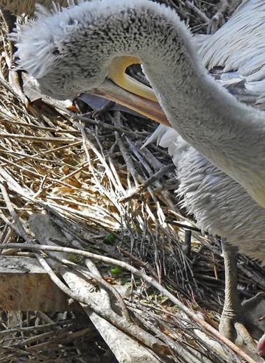 В Московском зоопарке родились кудрявые пеликаны