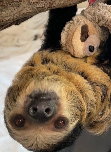 Беременная самка ленивца обнимает игрушку и готовится к материнству