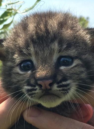 Новорожденные рысята на американском острове: фото и видео