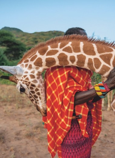 Грациозные гиганты – жирафы. Как защитить символ Африки?