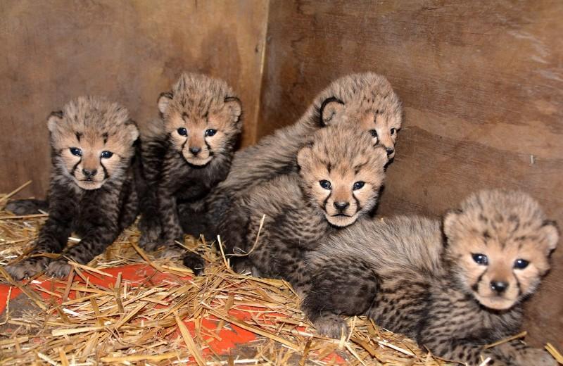 Сразу 7 гепардов родились в зоопарке Виргинии