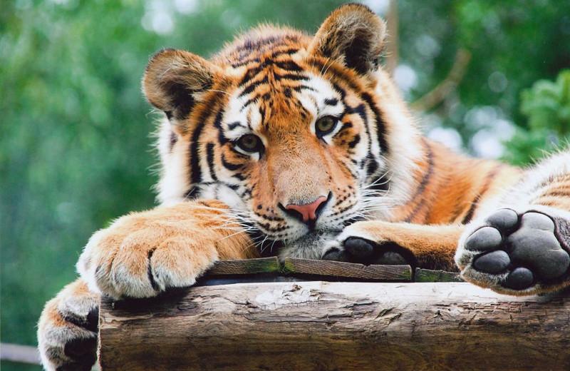 Новорожденные тигрята делают первые шаги: видео