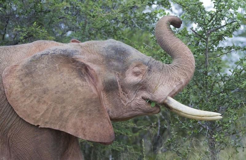 Слоны-альбиносы в неволе и природе