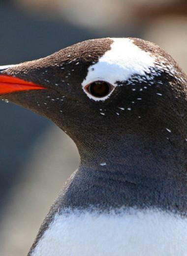 Субантарктических пингвинов предложили разделить на четыре вида