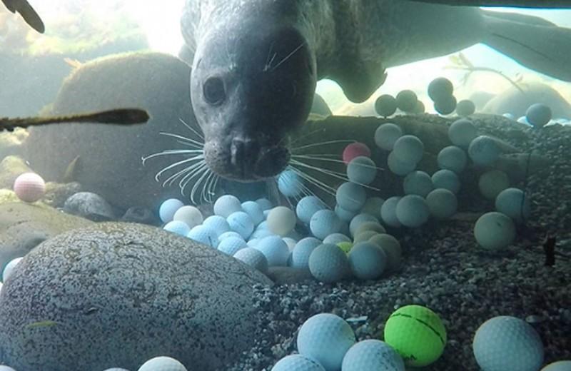 Волонтеры собирают тонны мячей для гольфа со дна Тихого океана: видео