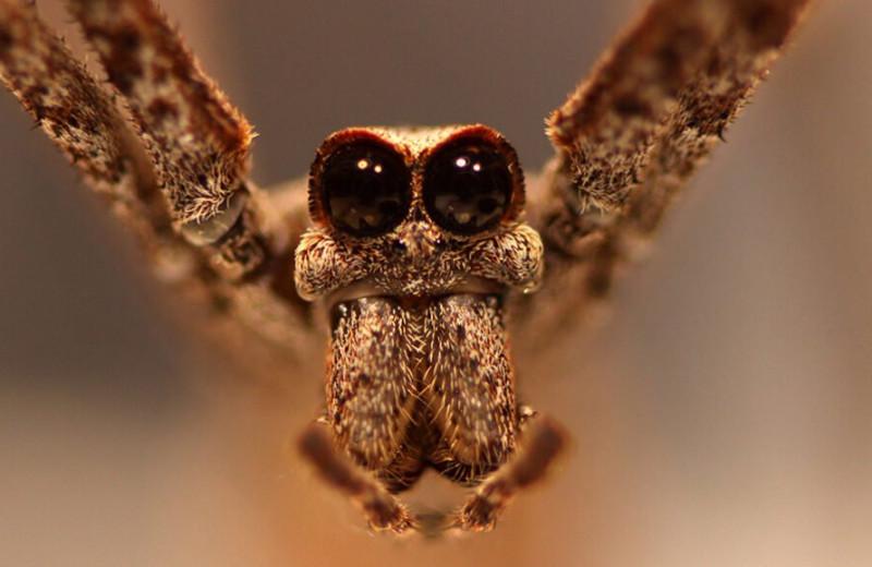 Пауки-дейнопиды ловят насекомых прямо в воздухе. На слух!