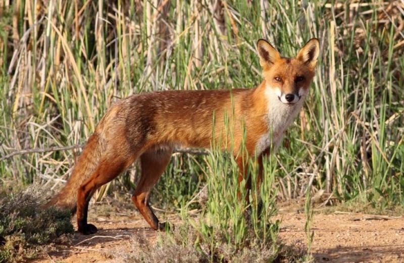 Неуловимый лис помешал вернуть редких сумчатых и грызунов в австралийский заповедник
