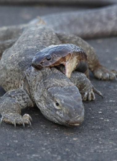 Смерть на голове: кобра охотится на варана