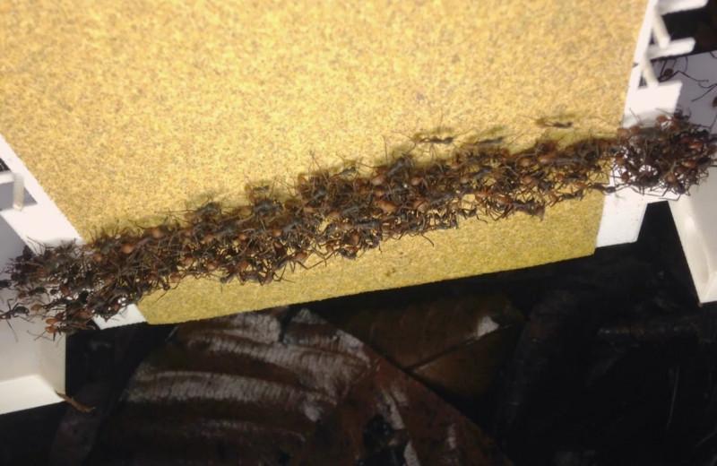 Живые мосты из муравьев: как они их строят