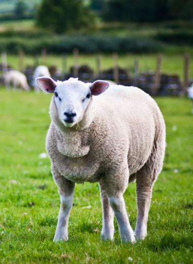 На аукционе в Шотландии овцу продали за астрономическую сумму