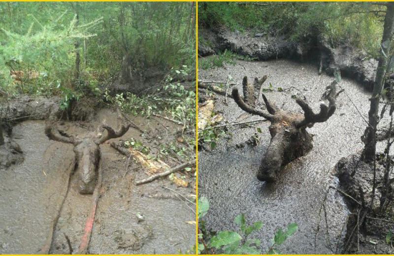 Канадские пенсионеры спасли лося из грязевой ловушки