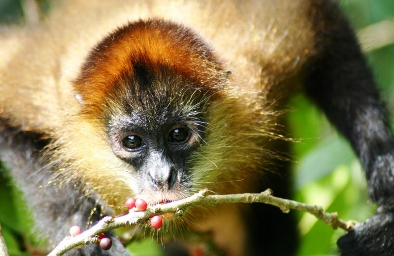 Почему обезьяны любят алкоголь в низких концентрациях и где они его берут?