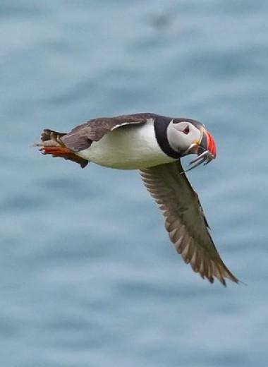 Зона высокой концентрации морских птиц в Атлантике оказалась размером с Архангельскую область