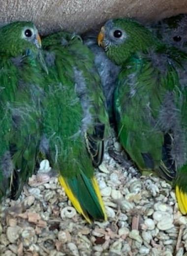 В популяции редчайших тасманских попугаев произошел демографический взрыв