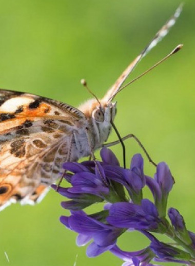 Репейницы пересекли Сахару и поставили рекорд дальности миграций для насекомых