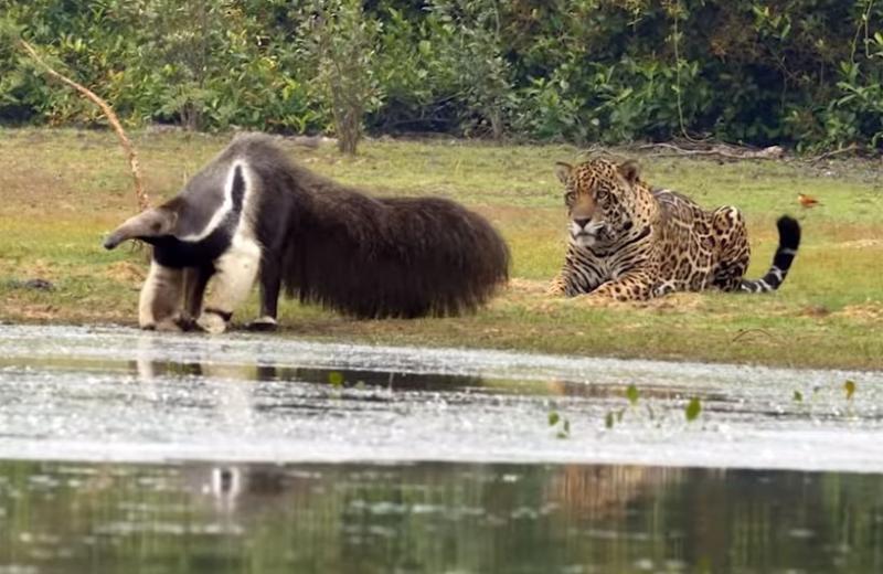 Муравьед напугал ягуара: видео