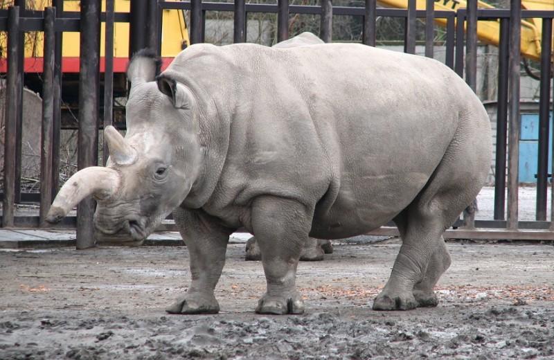Северного белого носорога спасут клонированием