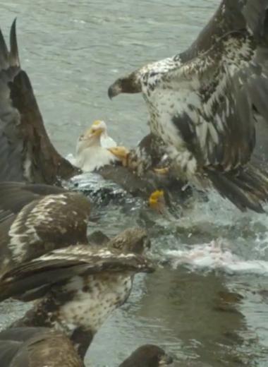 Орланы отбирают друг у друга добычу: видео