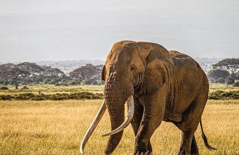 Умер всемирно известный таскер Тим: слон с огромными бивнями