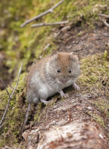 Оказывается, полевые мыши умеют считать!