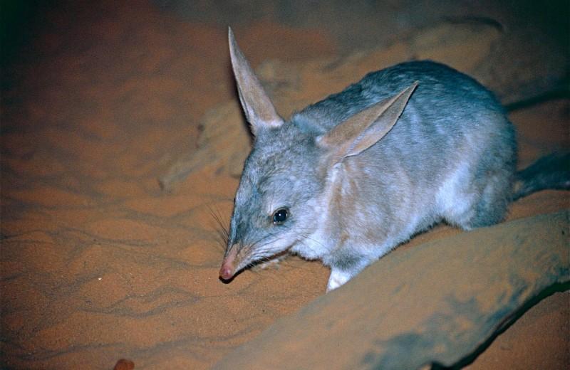 Как экологи учат австралийских эндемиков защищаться от хищников
