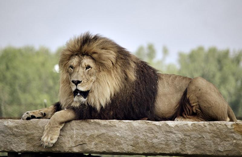 7 животных, которые могут убить льва