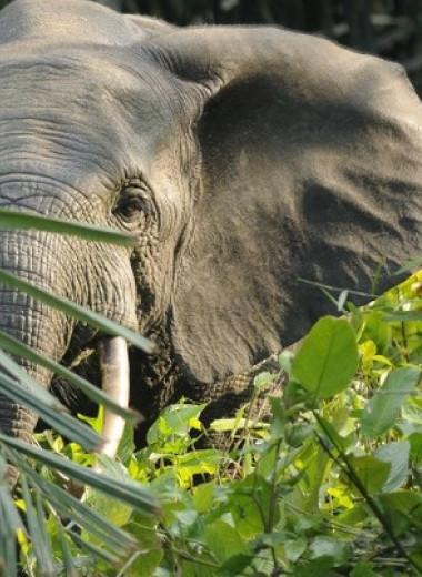Берег Слоновой Кости скоро останется без слонов