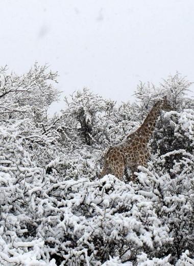 Слоны и жирафы в зимнем лесу: фото