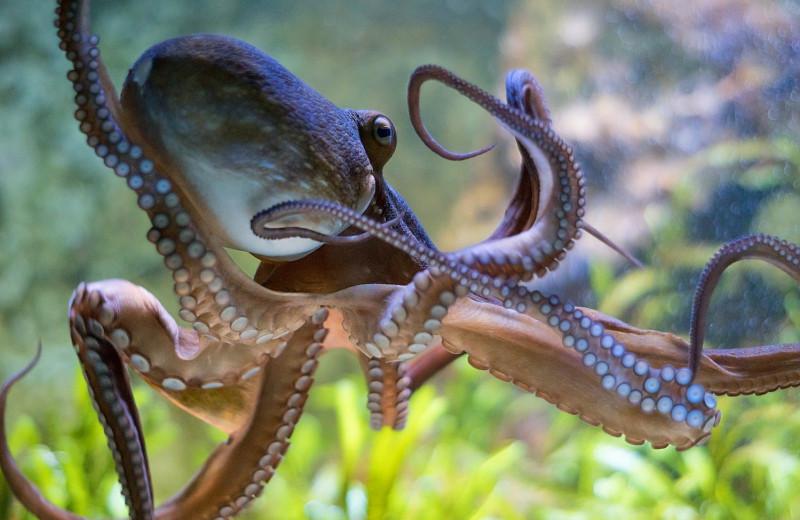 Когда болят три сердца разом: осьминоги могут испытывать эмоциональные страдания