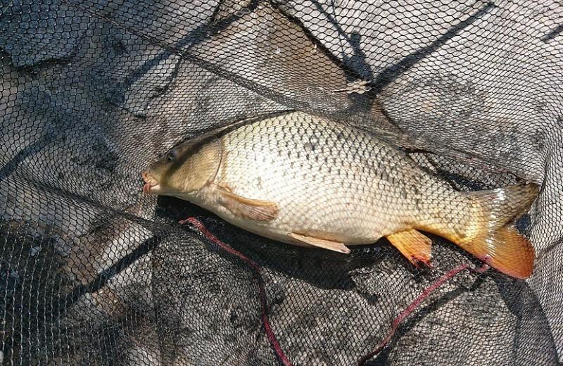 Как рыба перемещается между изолированными водоемами?