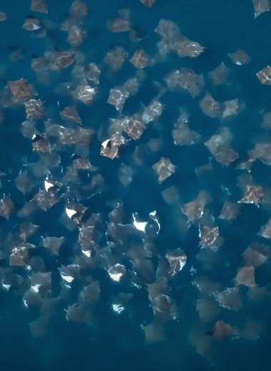 Как охотятся дьявольские скаты: видео от морских шпионов
