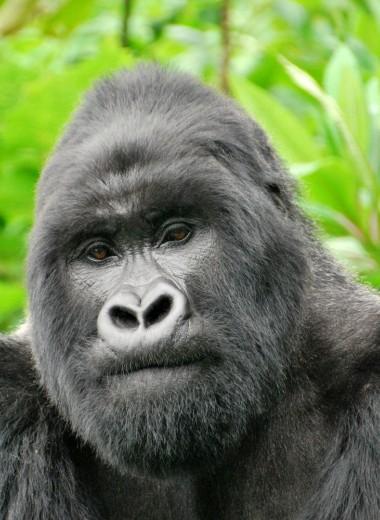 Четырех браконьеров арестовали за убийство доминантного самца гориллы