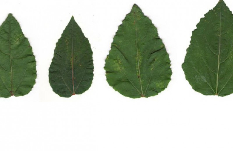 Гены плесени помогут вырасти осинам-акселератам