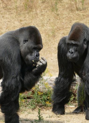 В дружеских отношениях человека и горилл нашли много общего