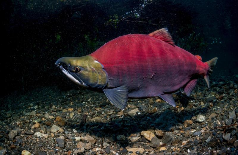 Вечное возвращение: удивительные факты из жизни лососей