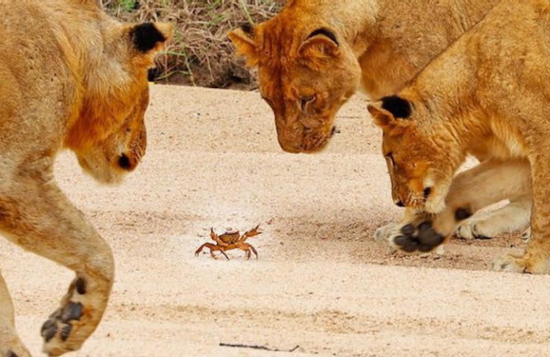 Как пальмовый вор загипнотизировал львов: видео