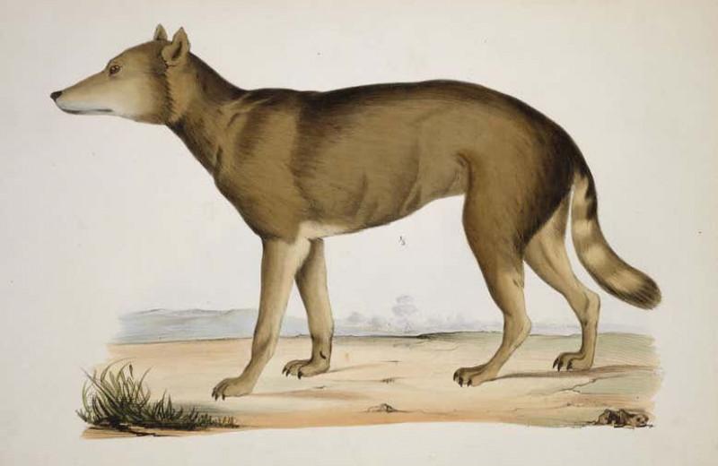 Вымершие японские волки оказались ближайшими родственниками собак