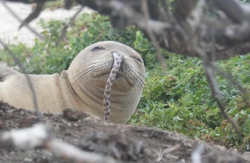 «Доктор, у меня в носу застрял угорь» – проблема тюленей-монахов