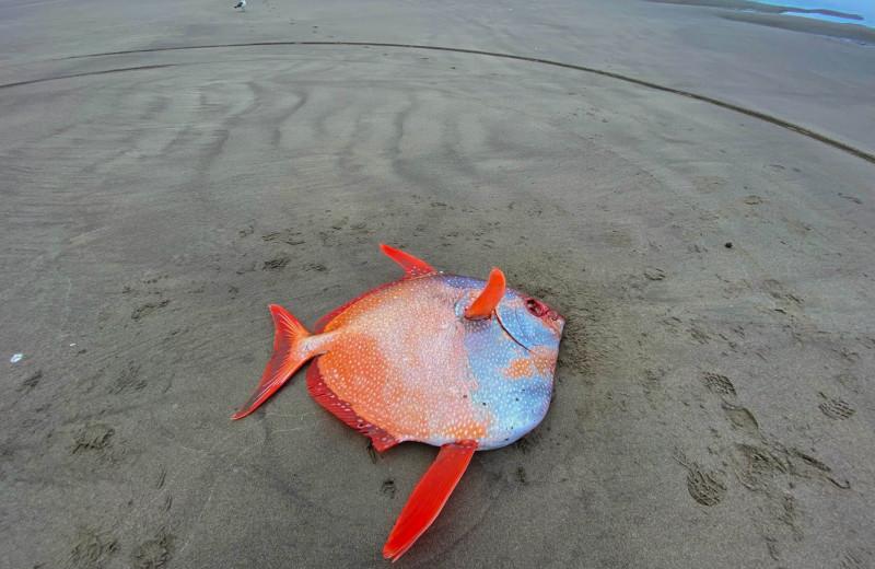 В Орегоне на пляж выбросило тропическую рыбу весом 50 кг