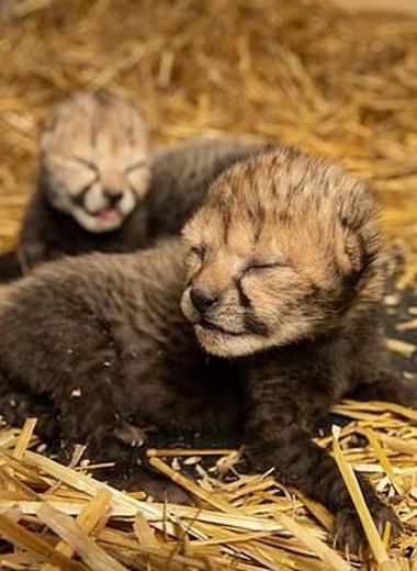 В зоопарке Огайо появились первые в мире детеныши гепарда, рожденные с помощью ЭКО