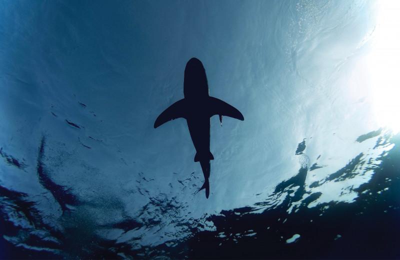 Эффективное искусственное оплодотворение кошачьих акул не исключило партогенез