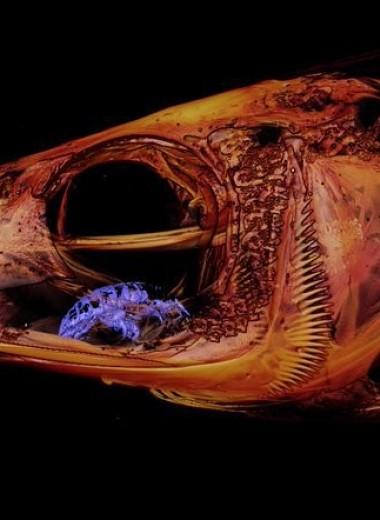 Во рту рыбы случайно нашли паразита, заменившего ей язык
