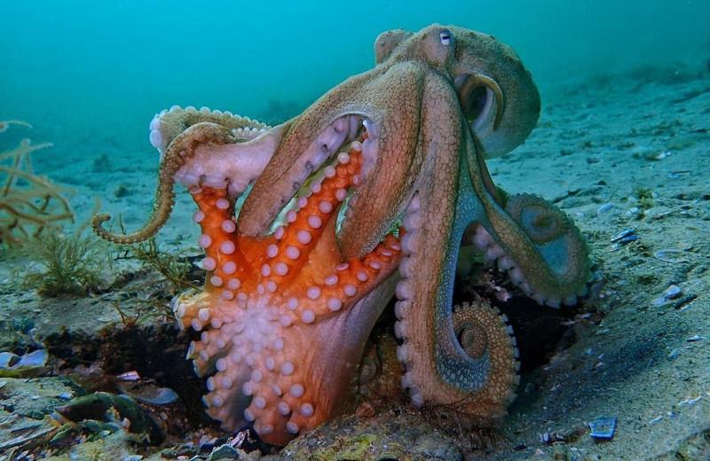 Брачные игры осьминогов: видео