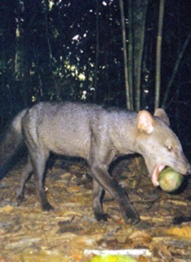 Лисицы-призраки из Амазонии под угрозой: их могут лишить тропических лесов