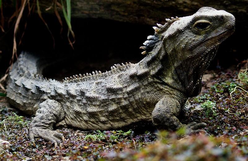 Почему ящерицы туатара живут так долго и не мерзнут