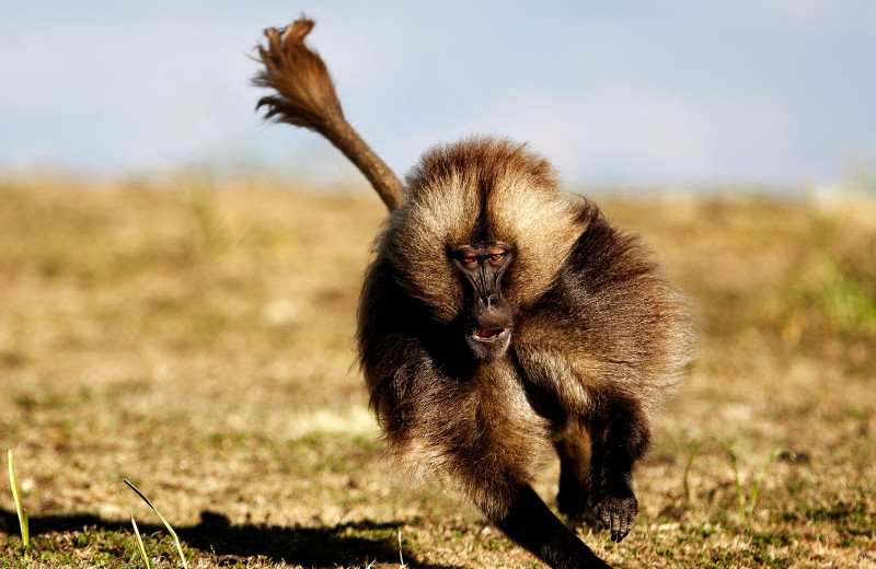 Обогнать обезьяну: ген, который мешает бегать